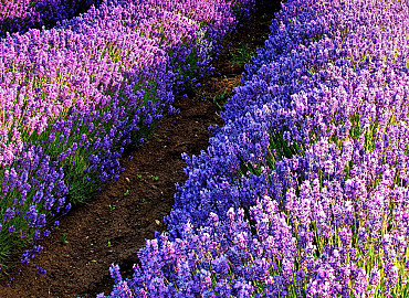 Lavendelgeuren in Drenthe