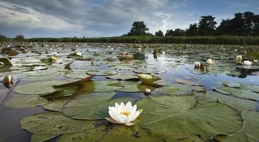 Waterlelies in de Weerribben