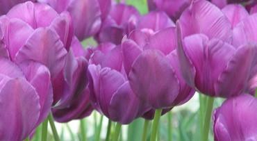 Overdekte tulpenpracht